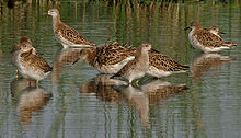Eight winter-plumage birds standing in a pool in India.