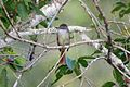 Rufous-tailed Flycatcher 2506098125.jpg