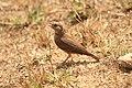 Rufus tailed lark (2).jpg