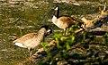 Ruhende Enten am Grünen See.jpg