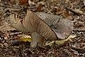 Russula nigricans (30043405572).jpg