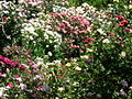 Ruston's Rose garden 4.JPG
