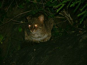 Photograph of rusty-spotted cat in its natural...