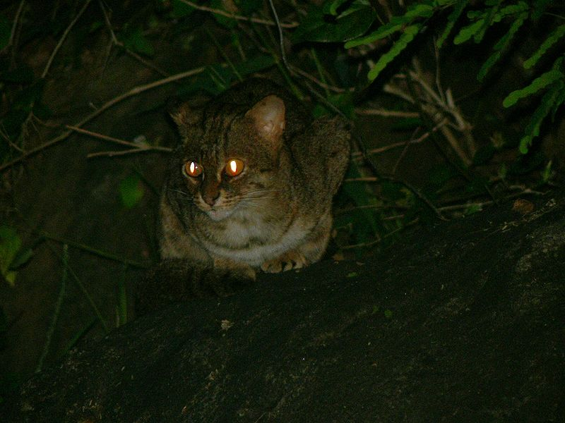 """Rustyspottedcat"" by User:Shankar Raman - Divya Mudappa, NCF, Mysore. Licensed under CC BY-SA 3.0 via Wikimedia Commons - https://commons.wikimedia.org/wiki/File:Rustyspottedcat.jpg#/media/File:Rustyspottedcat.jpg"