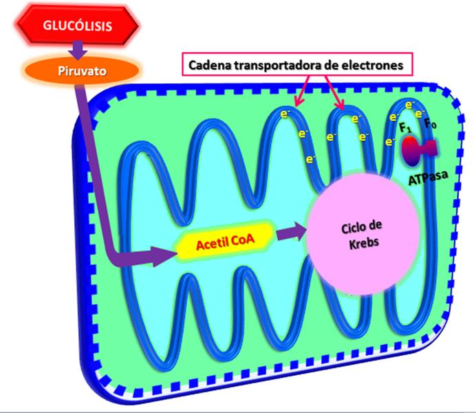 File:Rutas metabólicas en la mitocondria.png