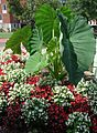 Rutgers University College Ave campus plants with big leaves plus flowers.JPG