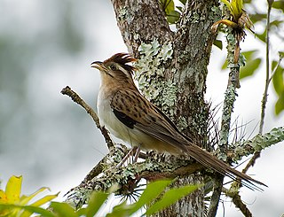Striped cuckoo Species of bird