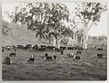SLNSW 919819 Series 02 Cattle ca 19211924.jpg