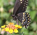 SWALLOWTAIL, BLACK (Papillio ployxenes) (8-21-2015) 78 circulo montana, patagonia lake ranch estates, scc, az -02 (20722463128).jpg