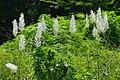 Saccharum spontaneum - Indian Botanic Garden - Howrah 2012-09-20 0048.JPG