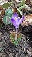 Saffron - Crocus vernus 35.jpg