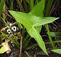 Sagittaria sagittifolia, 2006-07-22.JPG