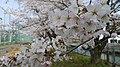 Sakura - panoramio (8).jpg