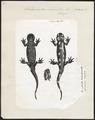 Salamandra maculosa - 1700-1880 - Print - Iconographia Zoologica - Special Collections University of Amsterdam - UBA01 IZ11400081.tif