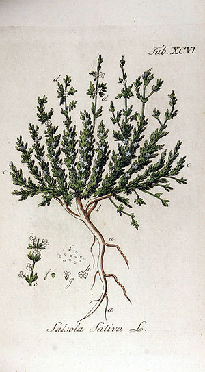 Barilla - Halogeton sativus is one of the plants from which barilla was made. The species was formerly classified as Salsola sativa. Engraving published 1813 (Adolphus Ypey).