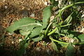 Salvia pratensis ssp. pratensis PID1051-3.jpg