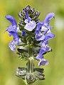 Salvia verbenaca (flower spike).jpg