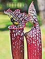 Sarracenia leucophylla 'Tarnok' (9920258586).jpg