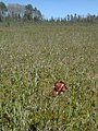 Sarracenia purpurea 8 (5097387573).jpg