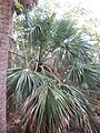 Saw palmetto at John D. MacArthur Beach State Park.jpg