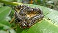 Sawflies on fig maybe close (16964017299).jpg