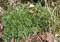 Saxifraga rosacea 280208a.jpg