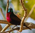 Scarlet-breasted sunbird.jpg