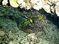 Scarus sp. et Chaetodon lunula.jpg