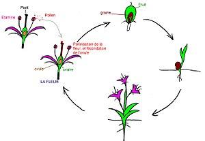 La fleur dans le cycle de reproduction, cliquez pour agrandir.