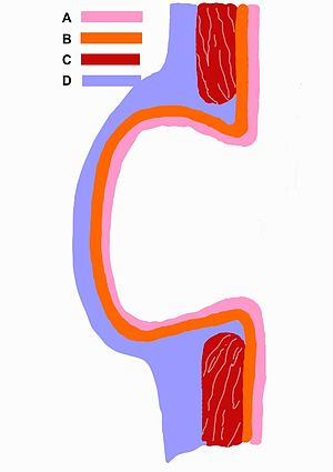 Schematic picture of the diverticulum.jpg