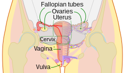 Scheme female reproductive system-en.svg