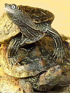 Mississippi map turtle subspecies of reptile