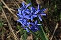 Scilla bifolia, Bulgaria.jpg