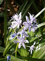 Scilla lilio-hyacinthus 07.JPG