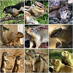 Various members of the family Sciuridae