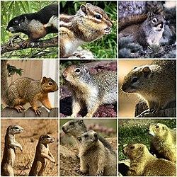 Squirrel - Wikipedia
