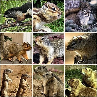 Squirrel - Various members of the family Sciuridae