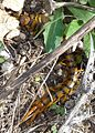 Scolopendra cingulata. 9 inch long centipede. - Flickr - gailhampshire.jpg