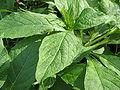 Scopolia japonica-05.jpg