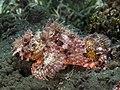 Scorpaenidae sp. No id. (29887533328).jpg