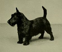 """A greyscale photograph of a typical black Scottish Terrier facing off camera in profile to the lower left"""