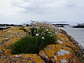 Sea Thrift at Sanna Beach - geograph.org.uk - 745823.jpg