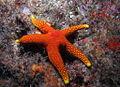 Sea star (5954594524).jpg
