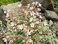 Sedum dasyphyllum (1) 6.jpg