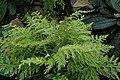 Selaginella pallescens var. aurea kz01.jpg
