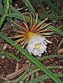 Selenicereus pteranthus 02.jpg