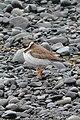 Semipalmated Plover (Charadrius semipalmatus) - Witless Bay, Newfoundland 2019-08-09 (02).jpg