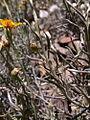 Senecio chilensis DSCN0449.jpg