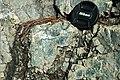 Serpentinite (East Dover Ultramafic Body, Ordovician; roadcut east of East Dover, Vermont, USA) 7.jpg