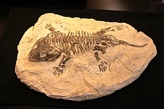 Fossil - Fossil of a Seymouria (extinct)